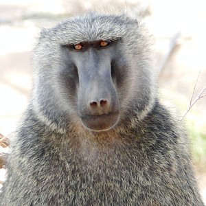 Baboon looking straight into the camera