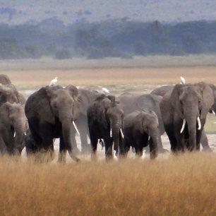aboseli elephants