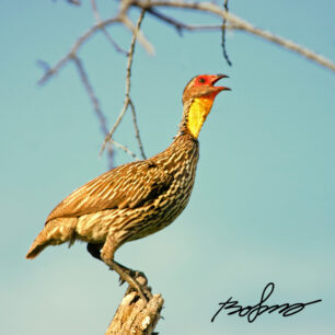 Francolin calling home on top of a broken branch.