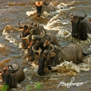 Wildebeests in the treacherous Mara river