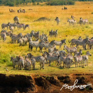 Zebras amassing before crossing the Mara river
