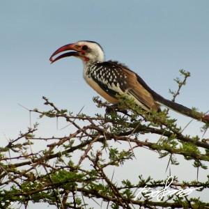 Jackson's Hornbill
