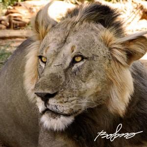 Scarred and battle hardened lion in Samburu