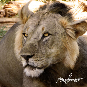 Scarred and battle hardened lion in Samburu