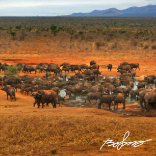 Hundreds of buffaloes at the water hole