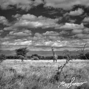 giraff on savannah