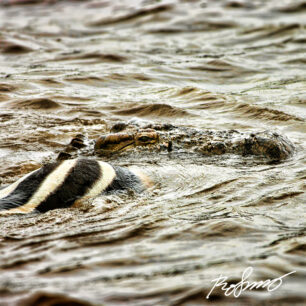 Crocodile swimming with a dead zebra that has just been killed