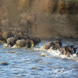 Wildebeests jumping out in the Mara river for a dangerous crossing