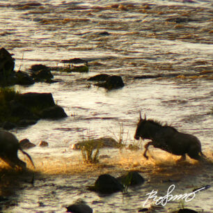 wildebeest in full flight to reach the riverbank