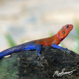 Multicolor lizard