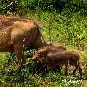 Two warthog piglets following their mother