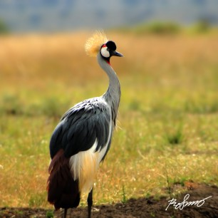 Crested Crane standing majestically