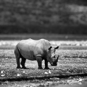The lonely rhino in Nakuru