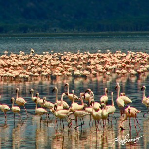 Thousands of flamingos on lake Nakuru