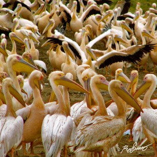 Huge amount of Pelicans in Nakuru