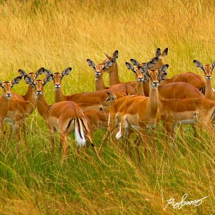 Impala gazelles in the tall yellow grass