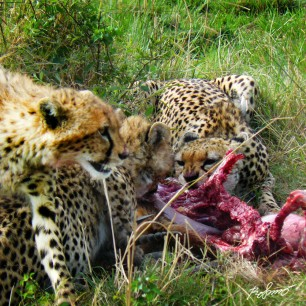 Cheetahs eating their breakfast