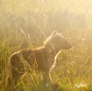 Small hyena cub in the morning sunlight