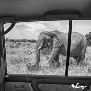 Elephant next to the rear window of the car