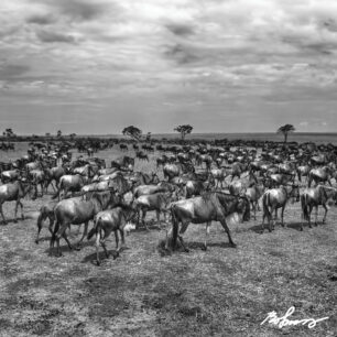 Large herd of Wildebeests looking quite nervous