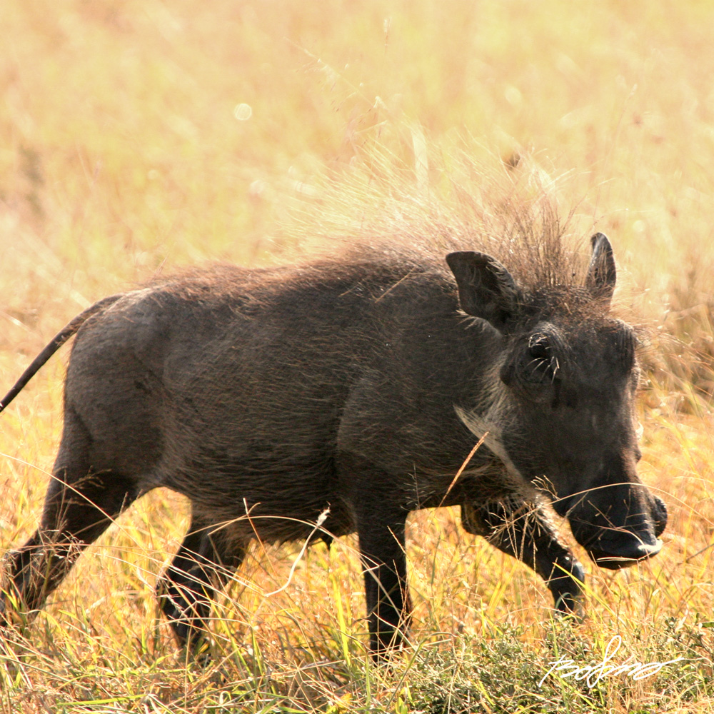 Small Warthog in the yellow tall grass