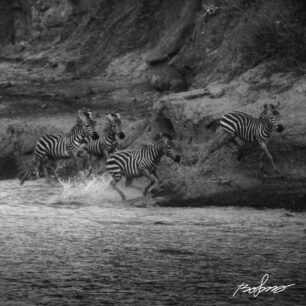 Zebras in flat-out gallop trough the water