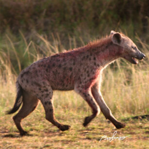 Hyena covered in fresh blood trotting home
