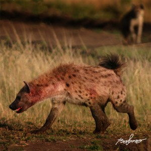 Hyena covered in blod and mud very early in the morning