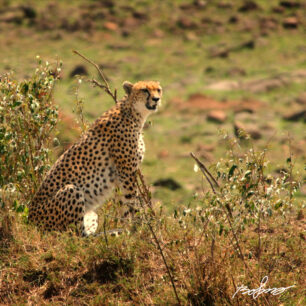 A cheetah on the lookout