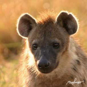 Portrait of a hyena with a beautiful backlight