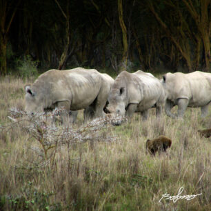 Three rhinos in Nakuru park