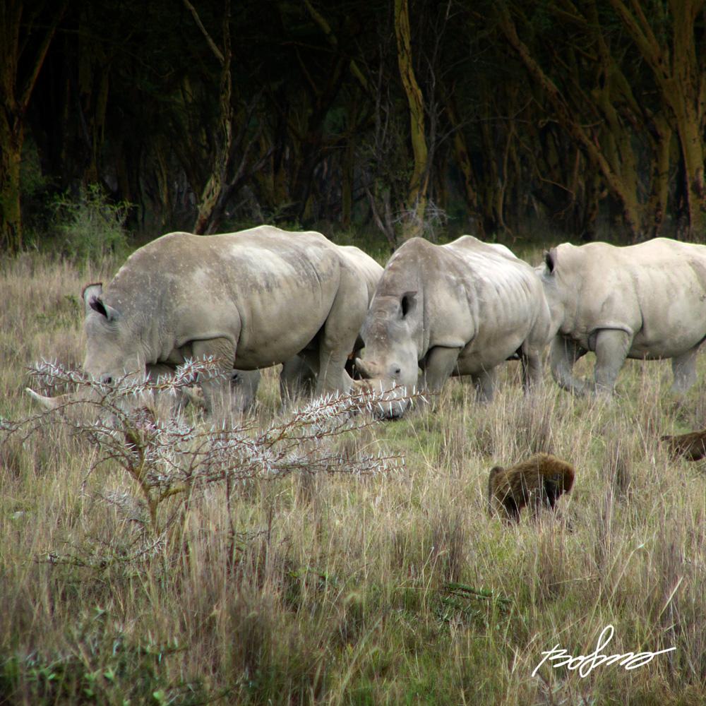 Small rhino herd in Nakuru