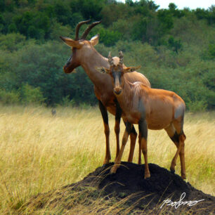 Topi Antelope standing with a young one