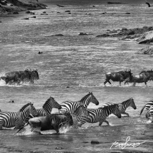 Zebra and wildebeest making the crossing over the Mara river