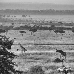 View over the grass plains with a couple of giraffes