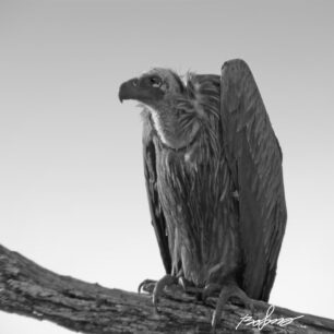Vulture in black and white