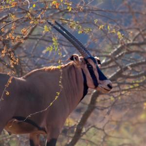 Oryx beisa callotis fringe-eared oryx
