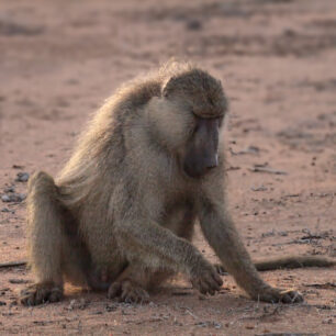 A opportunistic baboon