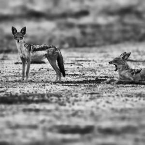 A pair of jackals on the savanna