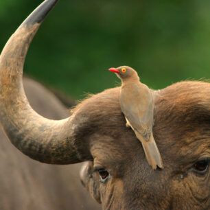 Red-billed Oxpecker sitting right on the face of a buffalo
