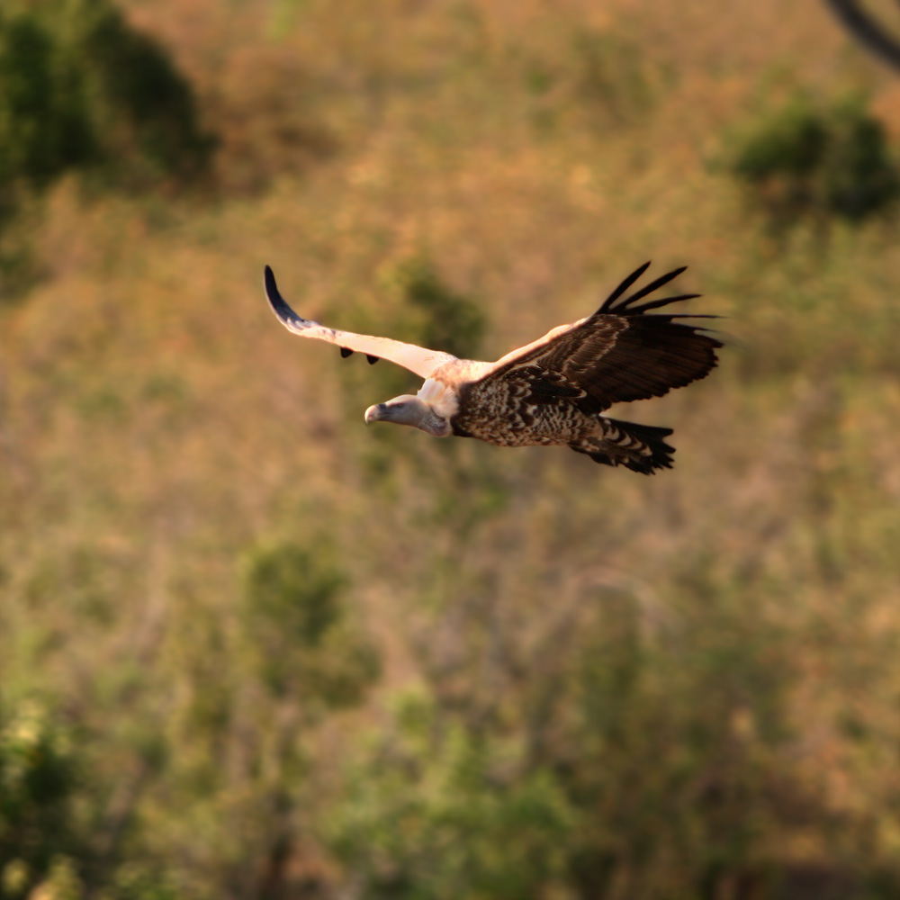 Vulture flying over the savanna