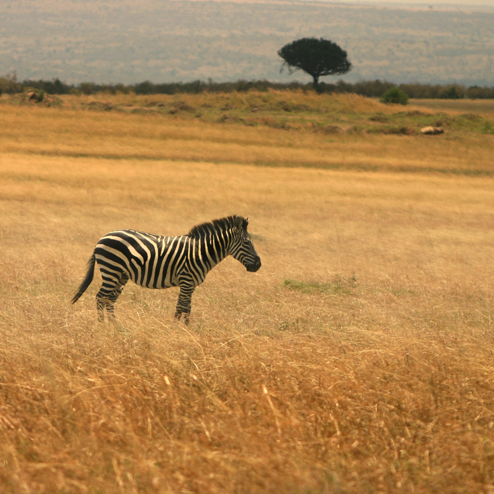 Lonely Zebra standing on the great grass plains Masai Mara