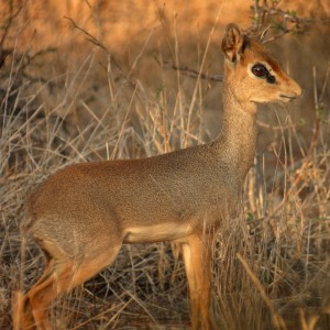 Dik dik antelope in warm sunlight