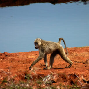 Olive Baboon foraging for insects, spiders and scorpions