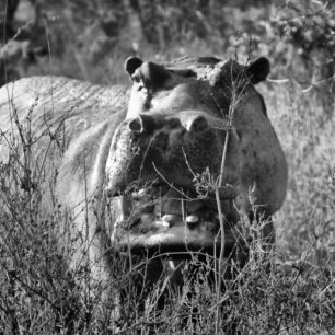 Angry hippo in the bush