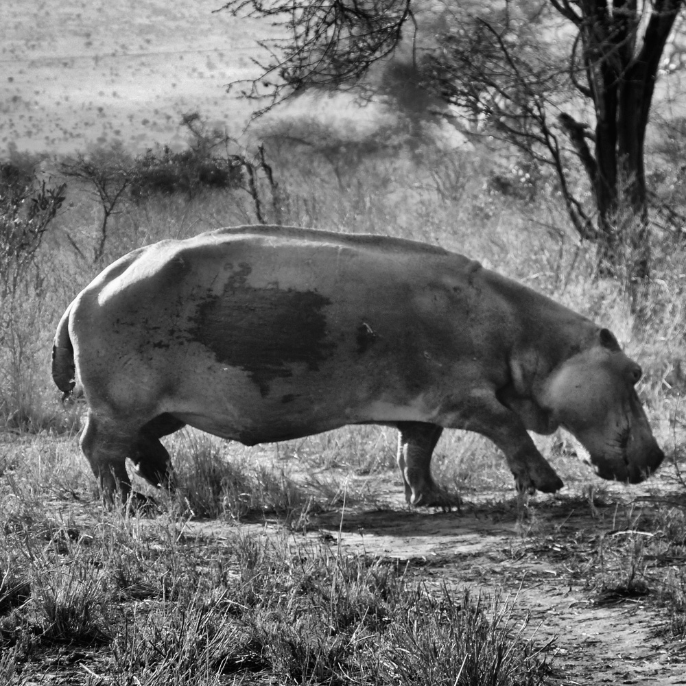 Starvation and malnutrition for a Hippo i Tsavo National park during severe drought