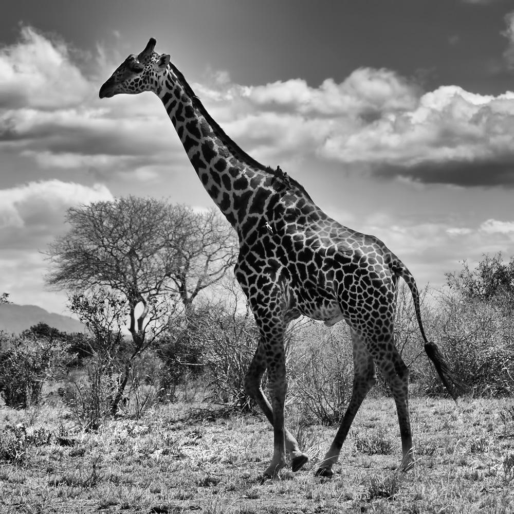 Beautiful Reticulated Giraffe in Meru National Park