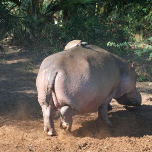 The running Hippo