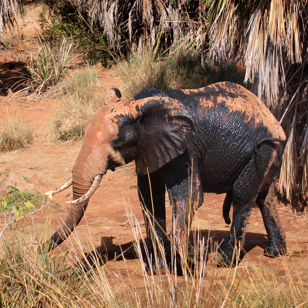 Elephant with a very dark patch of mud on one side