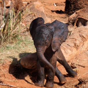 Small baby elephant covered in dark mud